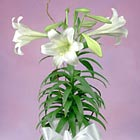 Deluxe Easter Lily (Easter Week)