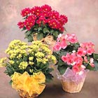 Buy indoor plants gifts - Seasonal Indoor Blooming Plant