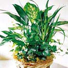FTD® Green Plants Basket
