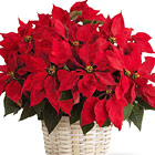 FTD® Poinsettia Basket (Large)