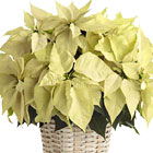 FTD® White Poinsettia Basket (Large)