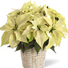 FTD® White Poinsettia Basket (Regular)