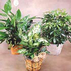 Buy indoor plants gifts - Individual Green Plant Gift by 1-800-FLORALS