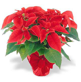 Popular Poinsettia Plant (Christmas)