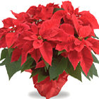 Brighten any room and any spirit, with this colorful, Yuletide favorite! Our vibrant poinsettias are as long-lasting as they are beautiful. The perfect holiday gift in all your favorite colors. Available after Thanksgiving till Christmas.