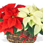 Two colorful, long-lasting poinsettias combined in a basket for a stylish holiday gift! One is red, and the other is white, pink, or another popular color. Available after Thanksgiving till Christmas. Charming! Professional florist design and delivery in the USA and Canada.