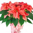 Add a tasteful splash of holiday color to any home or office with our long-lasting, premium poinsettia plants. Choose from traditional red, pink (shown here), or white. Available for delivery throughout the USA and Canada from after Thanksgiving till Christmas. Beautiful! USA and Canada delivery.