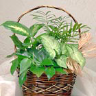 Petite Green Plants Basket