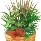 Our most popular green plant gift! Each features a custom assortment of indoor tropical green plants combined in a basket for the best quality and value.