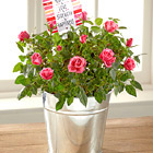 FTD� You Are My Love Mini Rose Plant