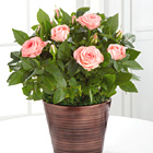 FTD� Sweet Beauty Mini Rose & Chocolates