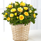FTD� Sunshine Spirit Mini Rose Plant