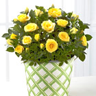 FTD� Sunshine Spirit 6.5-Inch Rose Plant