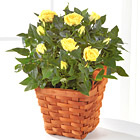 Lighthearted Moments Mini Rose Plant