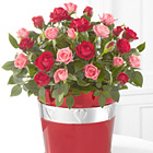 Lots of Love Valentines 6.5-Inch Mini Rose Plant