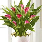 Pink Ombre Calla Lily Plant