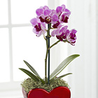 Heart Full of Love Valentine's Day Orchid Plant