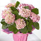 Sweet on You Valentines Day Hydrangea Plant