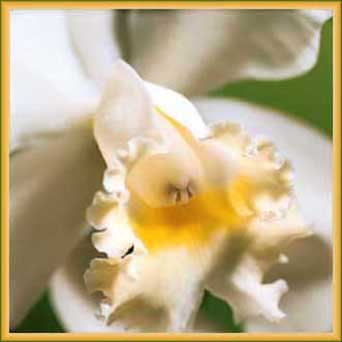 White Orchid Virtual Flower