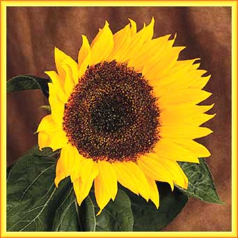 Virtual Sunflower