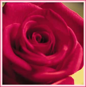 A burgandy Rose Virtual Gift