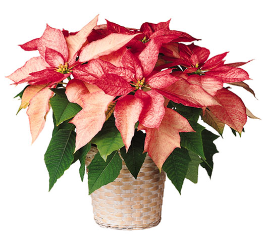 A Pink Poinsettia Virtual Holiday Gift