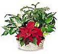 Holiday Plant