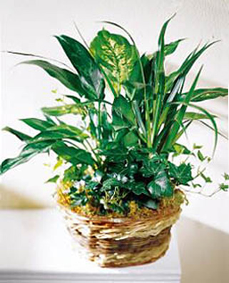 FTD Green Plants Basket