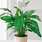 FTD® Spathiphyllum Plant