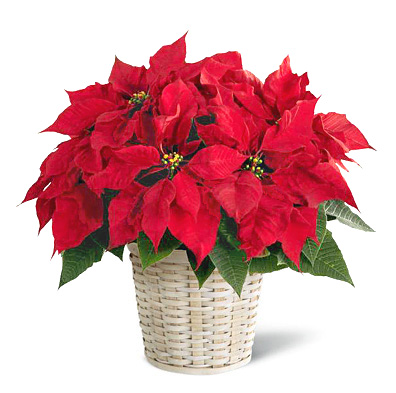 FTD� Poinsettia Plant Basket (Regular)