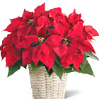 FTD® Poinsettia Plant Basket (Regular)