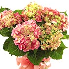 FTD� Pink Hydrangea Plant