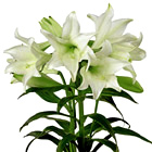 FTD® Deluxe Easter Lily