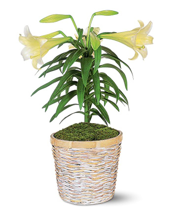 Popular Easter Lily Plant