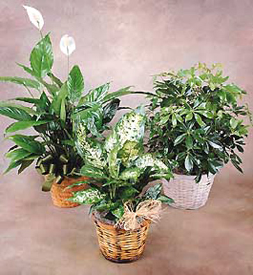 Individual Green Plant Gift