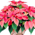 Fancy Poinsettia Plant