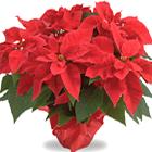 Christmas Poinsettia Plant (Christmas)