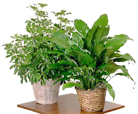 Home or Office Floor Plant