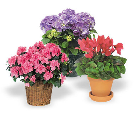 Flowers and plants deluxe indoor flowering plant gift - Indoor flowering plants ...