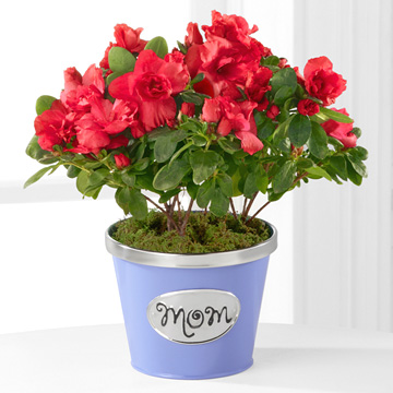 - Thank You Mom Mother''s Day Azalea - 4.5-inch