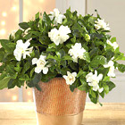 Fresh Looks Holiday Gardenia Plant