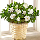Nothing But Love Gardenia Plant