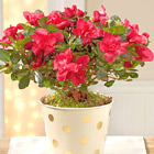 Holiday Fun Azalea Plant