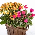Flowering Spring Plant Duo