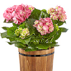 Vintage Vibes Hydrangea Plant