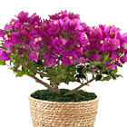On the Bright Side 6.5-Inch Bougainvillea