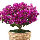 On the Bright Side 8-Inch Bougainvillea Plant