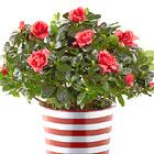 Crimson Cheer Azalea Plant