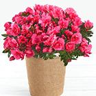 Hot Pink Azalea Plant