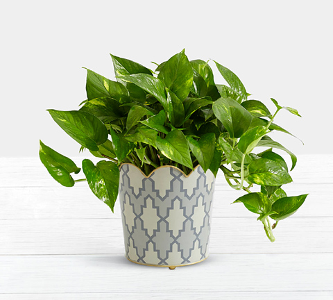 Golden Pothos Tabletop Plant